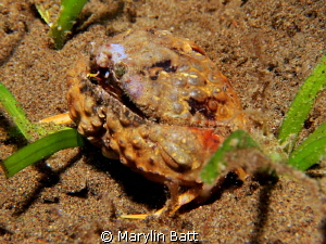 Tiny Box Crab on night dive about 1 1/2 inches across.  I... by Marylin Batt 